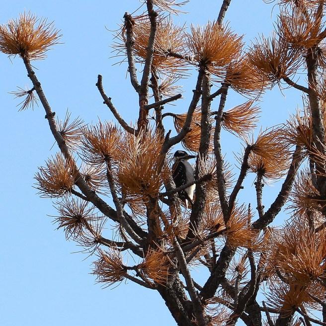 lil woodpecker in a big big tree... (low resolution version)