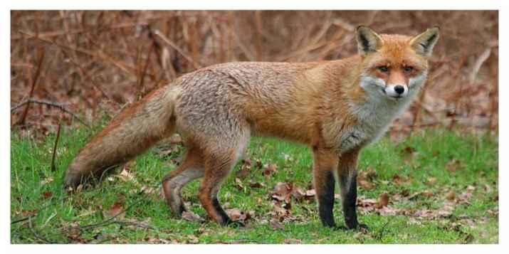 La double peine pour le renard roux