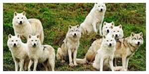Macron promet que davantage de loups pourront être abattus