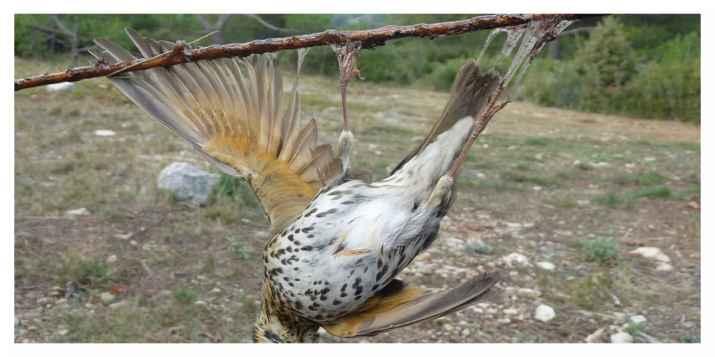 Ce gouvernement veut réautoriser des chasses traditionnelles d'oiseaux