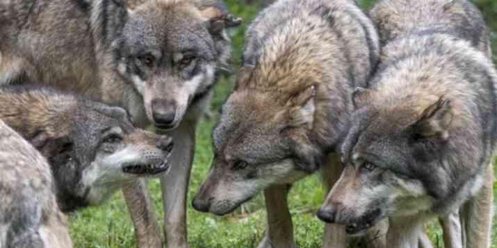 Le corps d'une louve retrouvé pendu devant une mairie dans les Hautes-Alpes