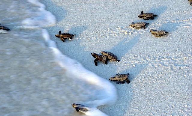 Hawksbill-Turtle-hatchlings