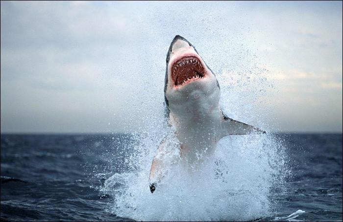 requin mort