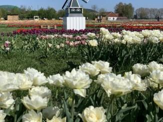 Campo de tulipas na Baviera