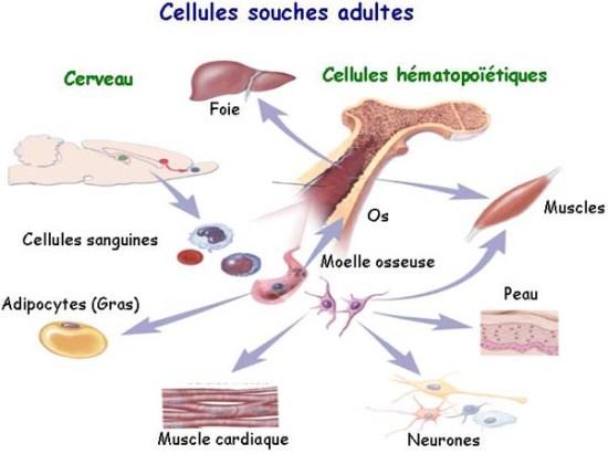 cellule-souche-StemLife-VousEtesUnique