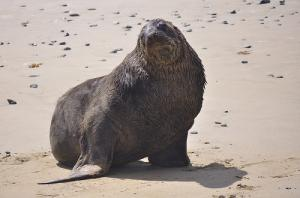 New Zealand sea lion slides towards extinction