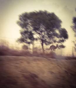 Kangourou sur la route - Australie