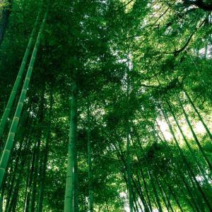 Forêt de bambous - Kyoto