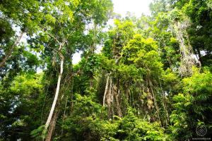 Daintree Rainforest - Australie