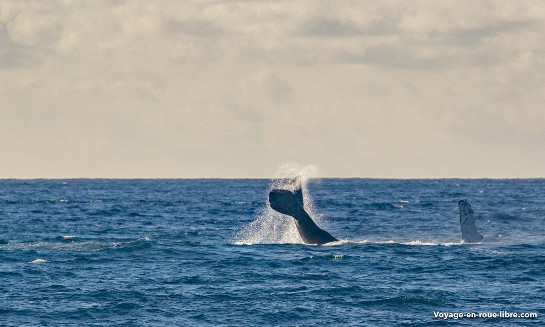 Baleine à bosse - Kauai