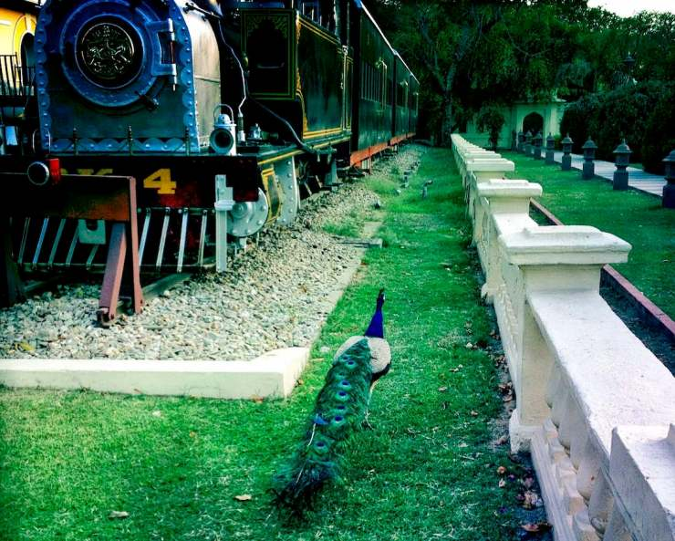rambagh palace peacock