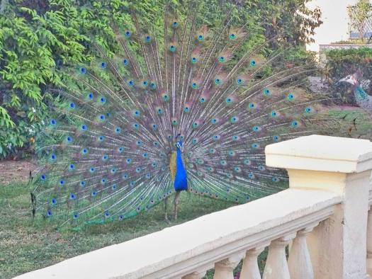 rambagh palace peacock in garden