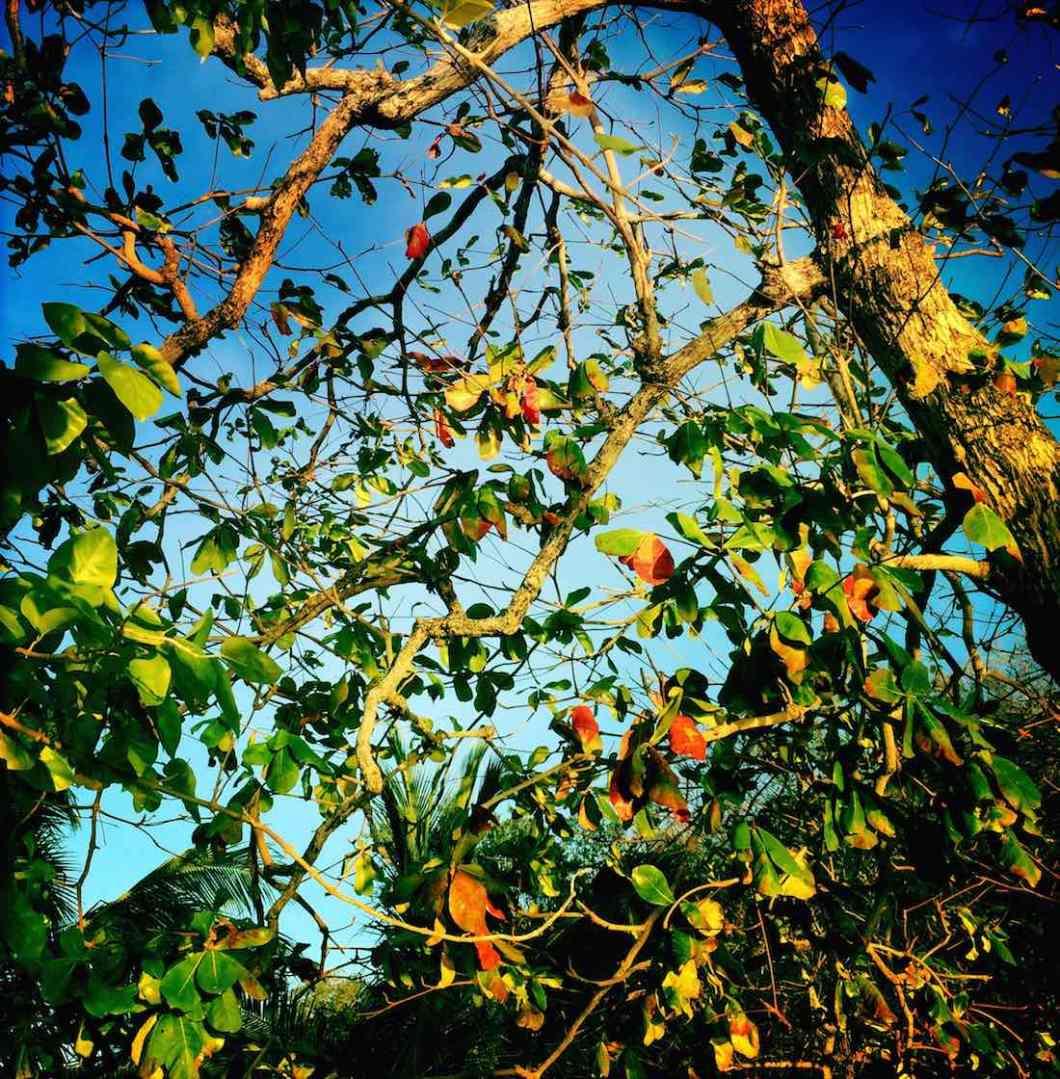 coron-tree