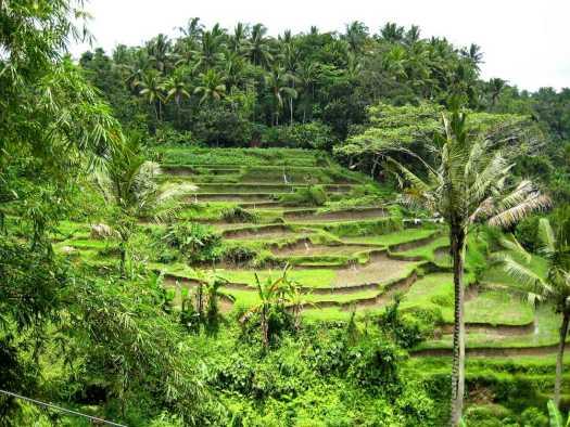 ubud rice terraces