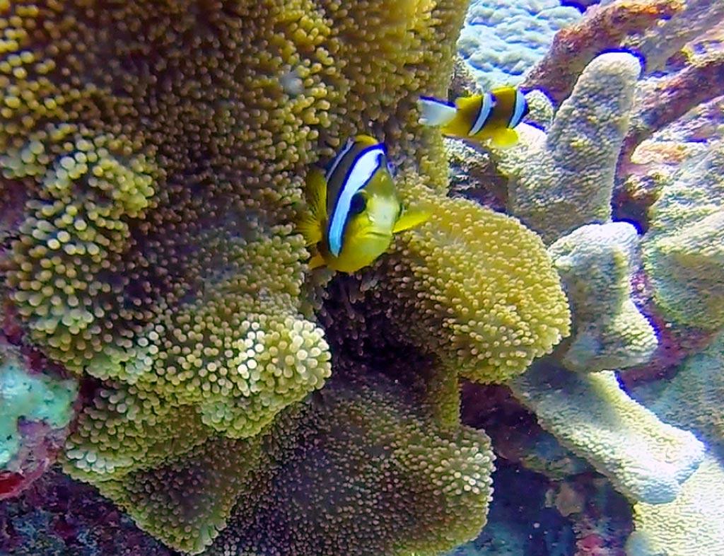 Clown Fish, Australia - Taken by Diann Corbett, 09/2014.