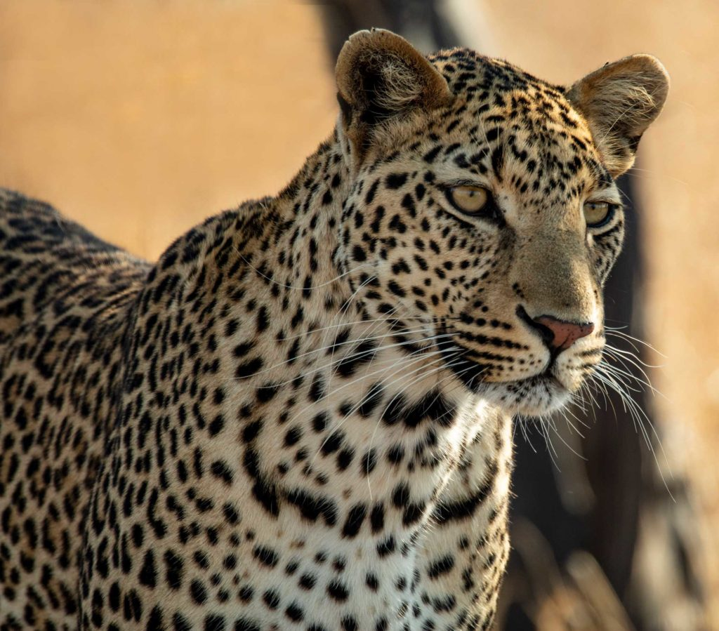 Male leopard hunts at midday in Kruger National Park, South Africa