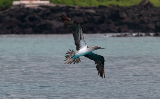 Blue footed boobie hunting for fish in the nearby waters