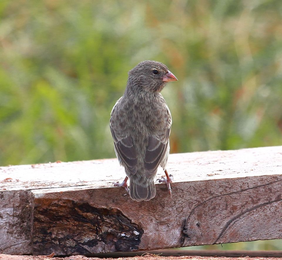 Female small ground finch - seen during our walk at El Junco
