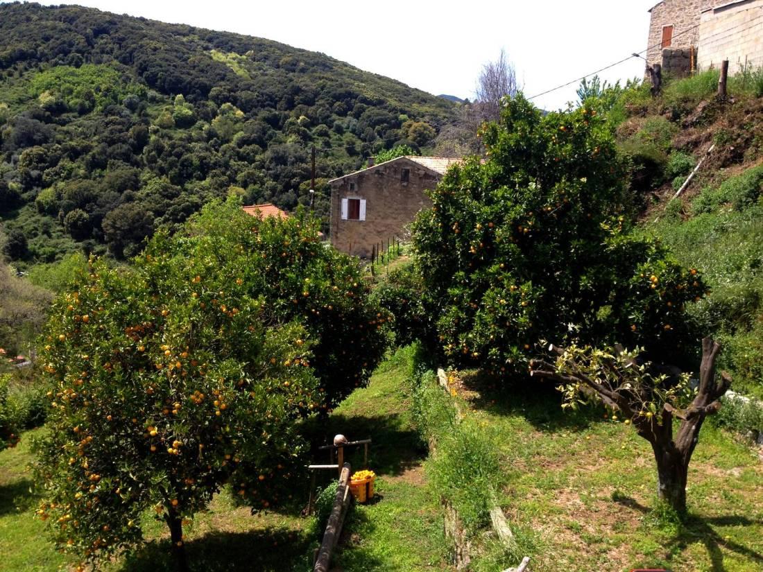 Orange trees in the Villa Guidi's garden - Pila-Canale, Corsica