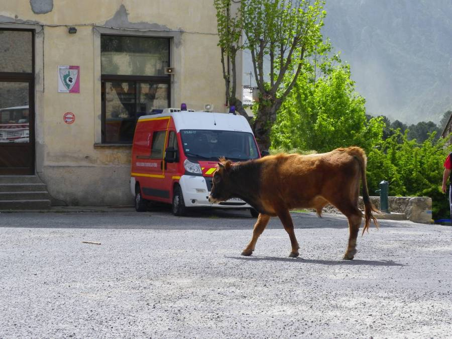 A cow in the village - Ghisoni, Corsica
