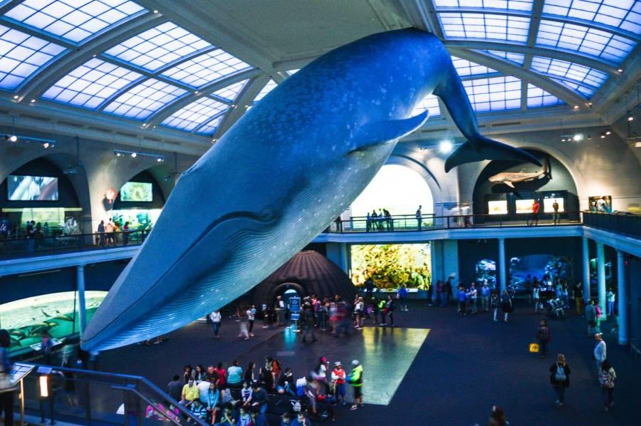 La grande baleine bleue du Muséum d'Histoire Naturelle - New York, Etats-Unis