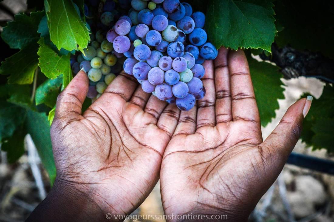 Beautiful grapes at the Haut Lirou Wine Tour - Saint Jean de Cuculles, France