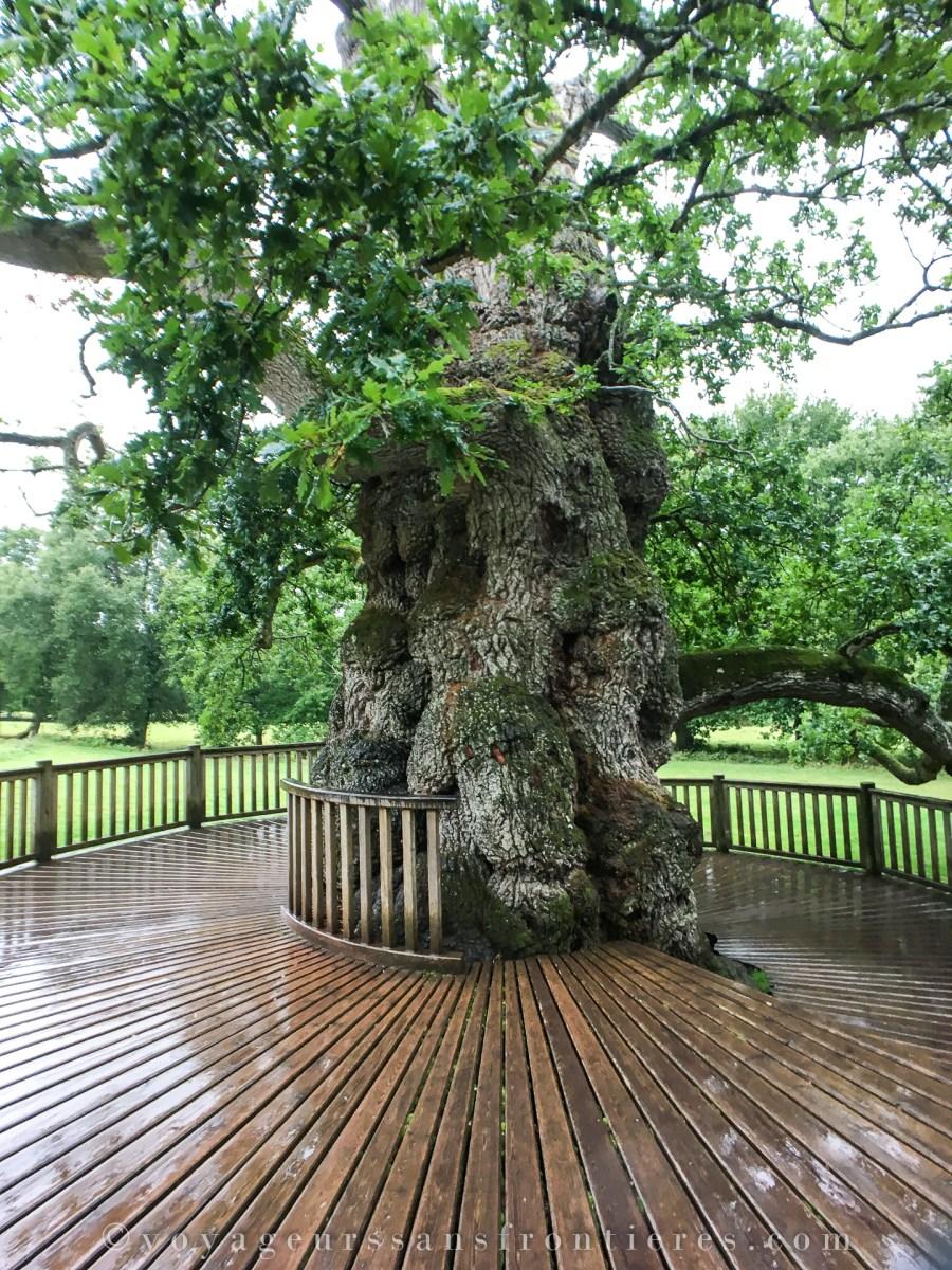 Guillotin oak - Brittany, France