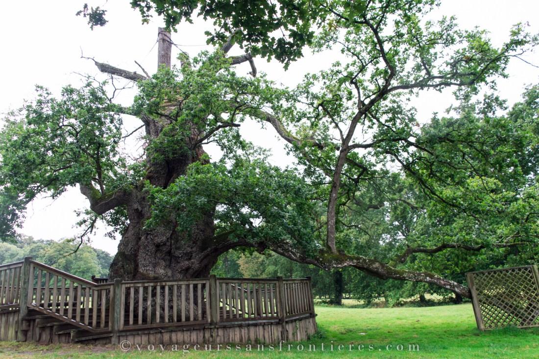 Guillotin oak - Brocéliande, France