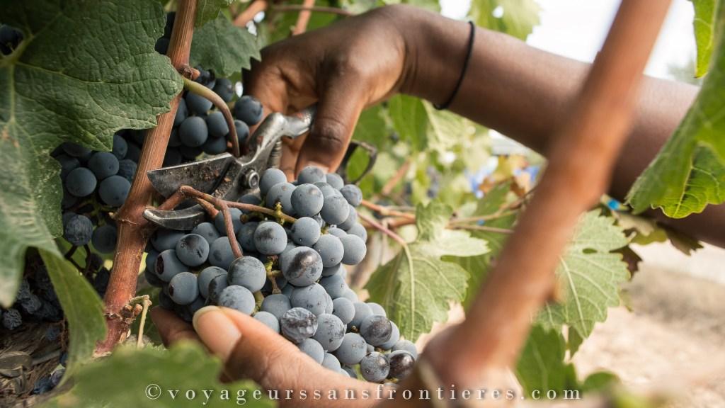 Grappes de raisins au Celler Masroig - Catalogne, Espagne