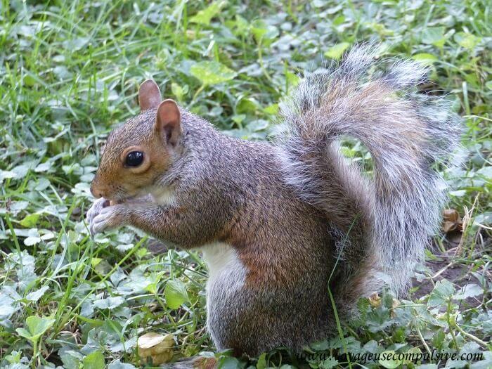 Zoom sur l'un des nombreux écureuils présents à Central Park