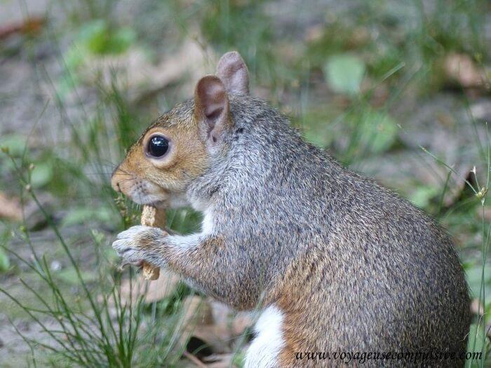 Zoom sur l'un des nombreux écureuils présents à Central Park, en train de manger
