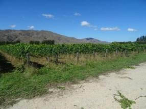 Volontaire vignoble bio Nouvelle Zélande (1)