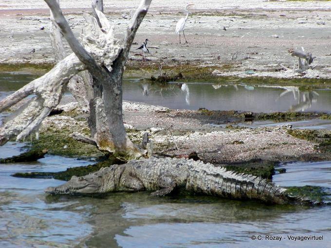 Crocodile Camouflage In Salt Lake Enriquillo Dominican Rep