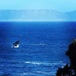 Walvis spotten in Hermanus, Zuid-Afrika