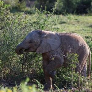Baby olifant in Addo Elephant Park Zuid-Afrika