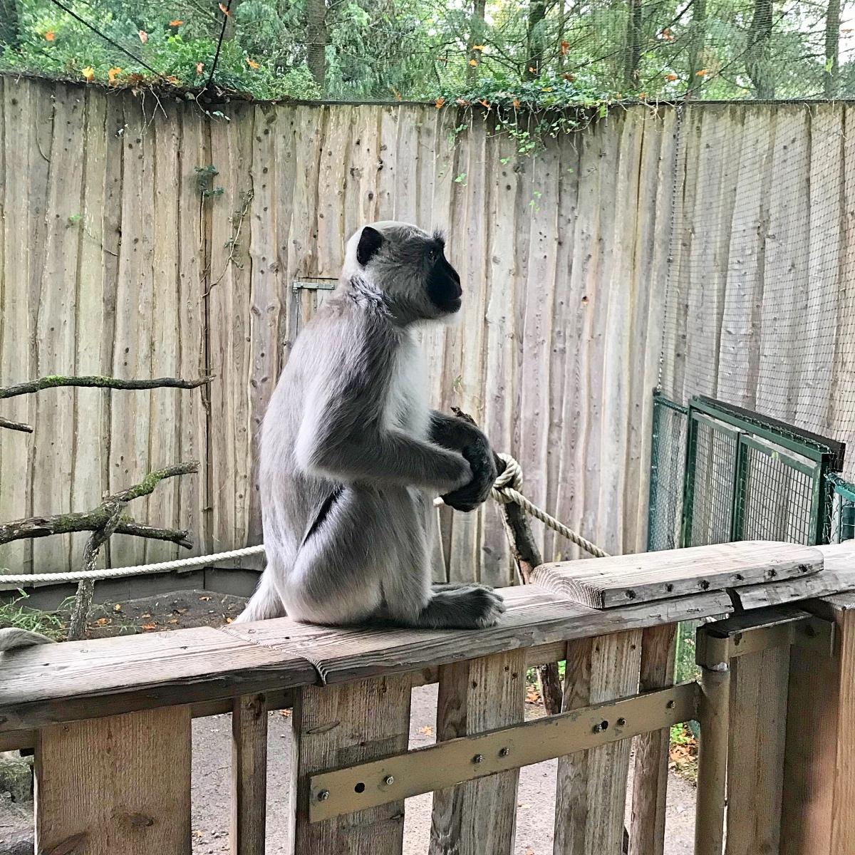 Loslopende apen in de Apenheul