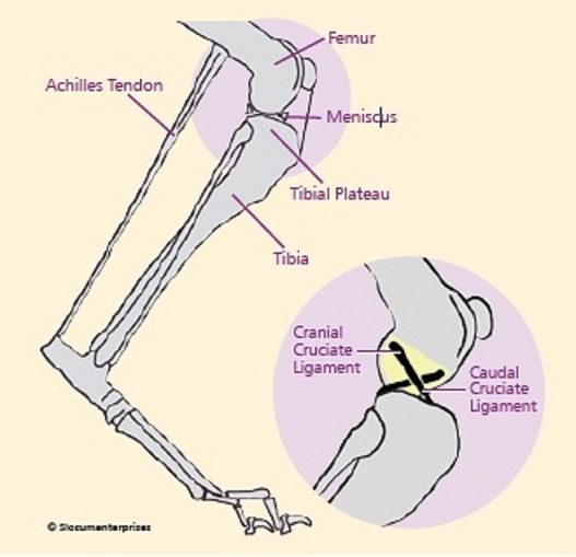 front leg ligament diagram echo power pruner parts injury of the cranial cruciate ccl in dog continual instability absence a healthy constraining abnormal movement joint leads to progressive osteoarthritis