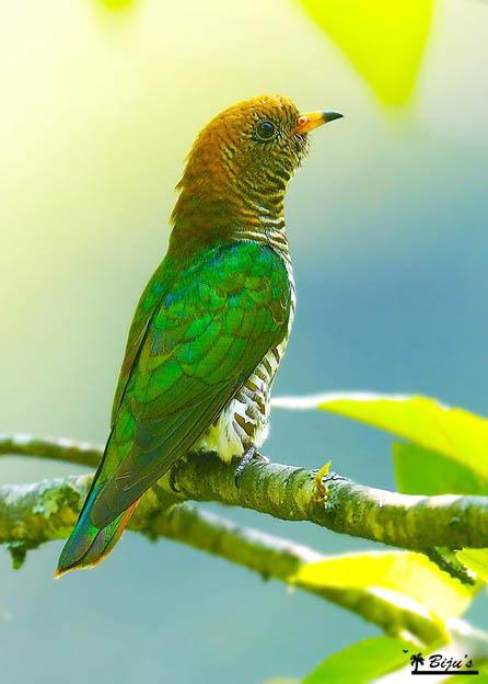 emerald-cuckoo-female-namling-bhutan