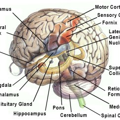 Human Brain Diagram Limbic System Plug Wiring The Gallery For Gt 3d Model