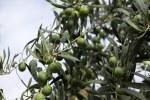 Оливки в Кордобе
