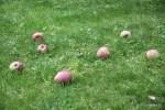 Утро. Яблоки нападали
