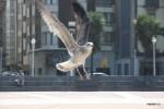 Чайки в Хихоне так же привычны, как голуби