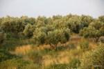 Оливковые рощи покрывают значительную часть острова Самос