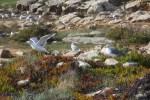 Чайки в Пениши
