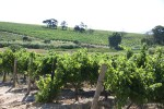 Виноградники Каапзихт