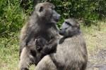 Бабуины привольно живут на Мысе Доброй Надежды