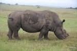 У всех носорогов в заповеднике Карьега срезаны рога - для их же блага