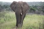 Когда слон идет прямо на джип, это вызывает смешанные чувства