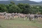 Целый табун зебр: поневоле уступишь дорогу