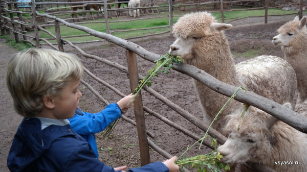 Внуки кормят альпак